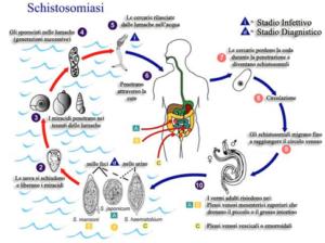 Ciclo vitale del Schistosoma