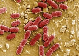 Escherichia Coli al microscopio.